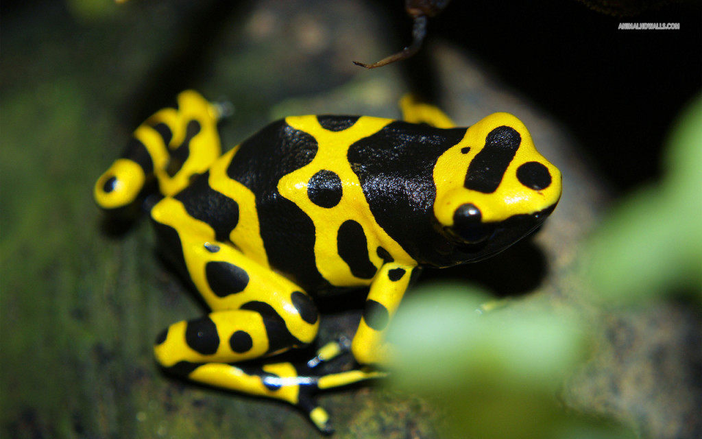 poison-dart-frog-496-1280x800